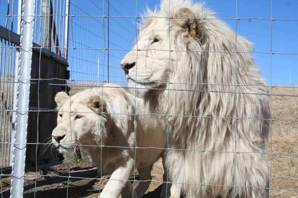 Big cats worldwide threatened by SA lion bone trade - EIA