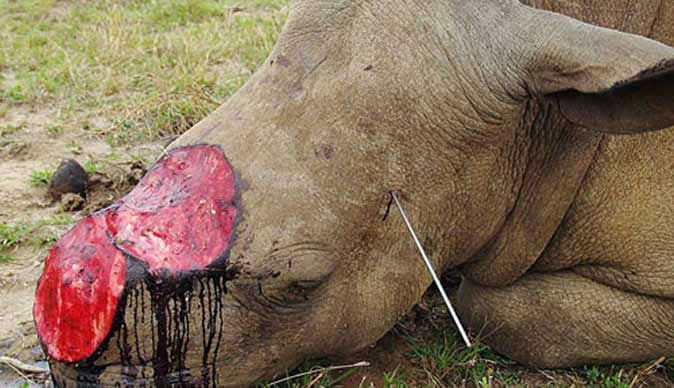 Rhino Poaching Stats: Slight Decrease But still Far Too High