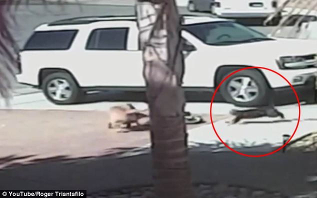 Kid Attacked By Dog And Cat Saves Him