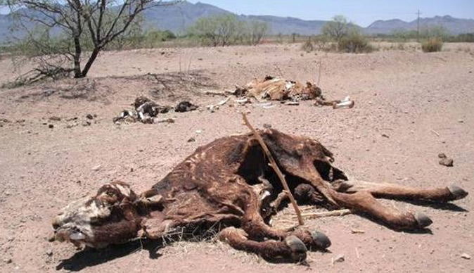 over 40 cattle die from drought   bulawayo24 news