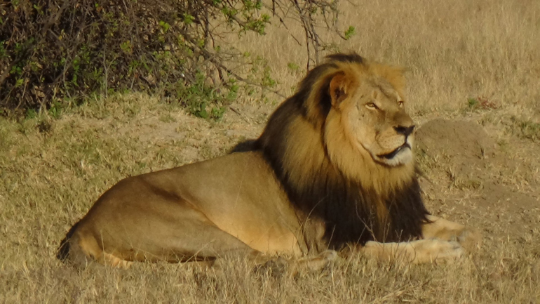 Mugabe accuse Zimbabweans of failing to protect Cecil the lion