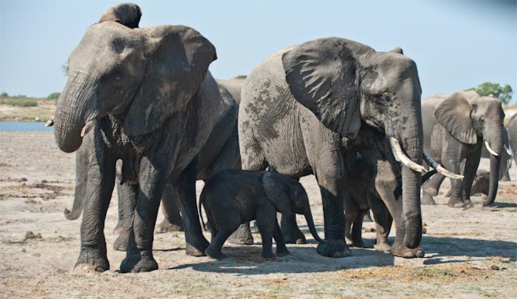 Elephant numbers across Africa decrease by a third in just seven years - survey
