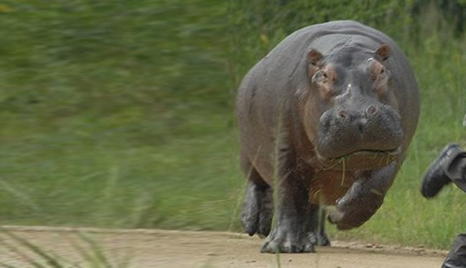 Horrific moment: 2 day old hippo mauled to death