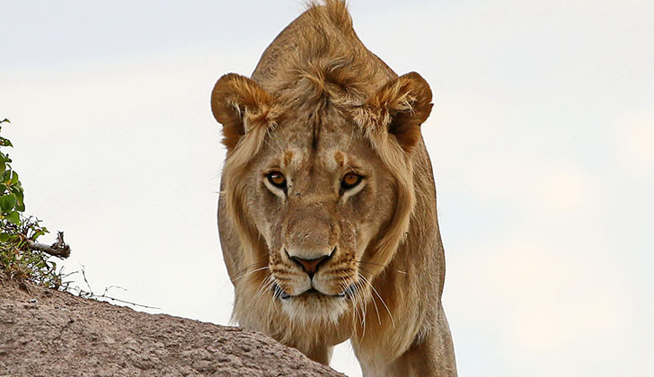 SA Public has no time to contest sale of lion bones