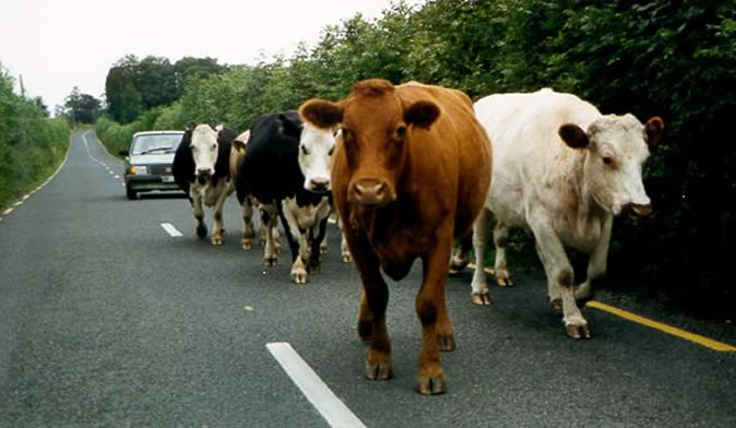 Govt to impound, auction stray cattle found on roads