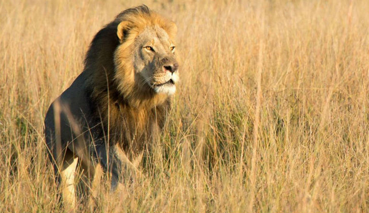 Irregularities surrounding death of Cecil the Lion's son